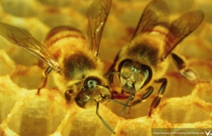 two honey bees on comb